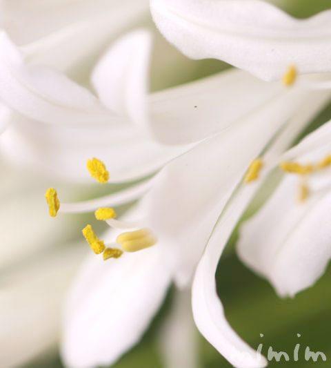 白いアガパンサス(花の写真&花言葉)