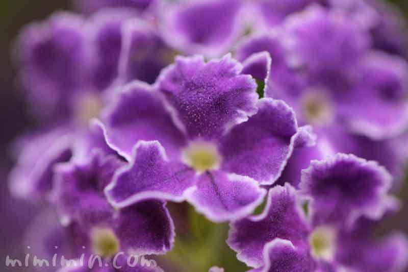 デュランタ・タカラヅカの花の写真