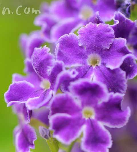 デュランタの花言葉・誕生花・デュランタ タカラヅカの花の写真