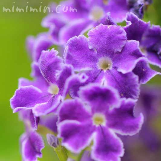 デュランタ宝塚の花の画像