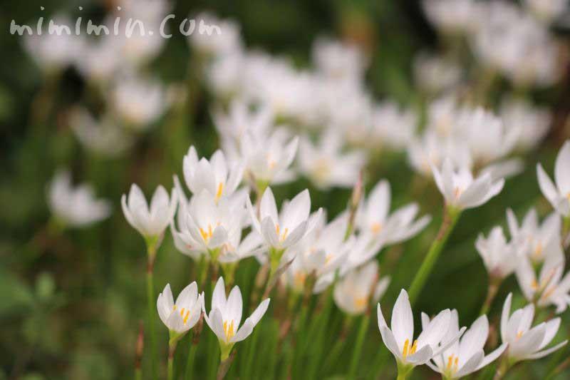 ゼフィランサス(レインリリー)の花の写真