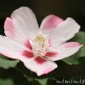 ムクゲ・白✕ピンクの花の写真