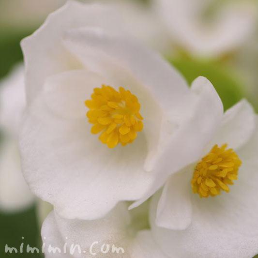 白いベゴニアの花