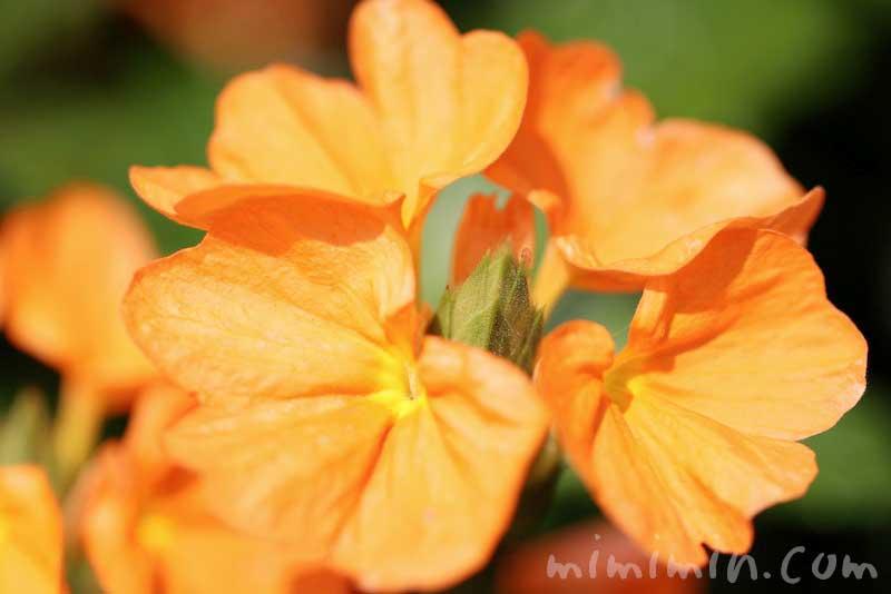 クロッサンドラの花の写真と花言葉の画像