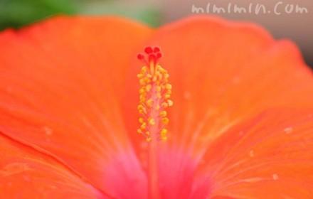 橙色のハイビスカスの花の画像