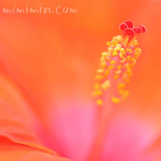 ハイビスカス オレンジ色の画像