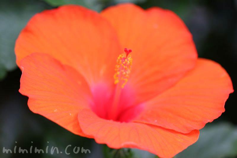 オレンジ色のハイビスカスの花の写真