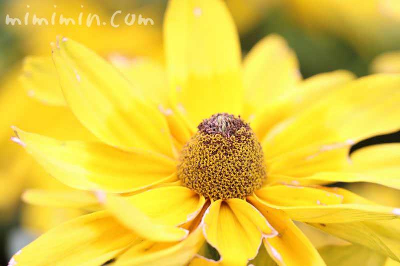 黄色のルドベキア