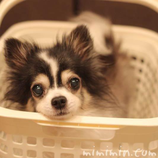 洗濯カゴに顎を置く犬の写真