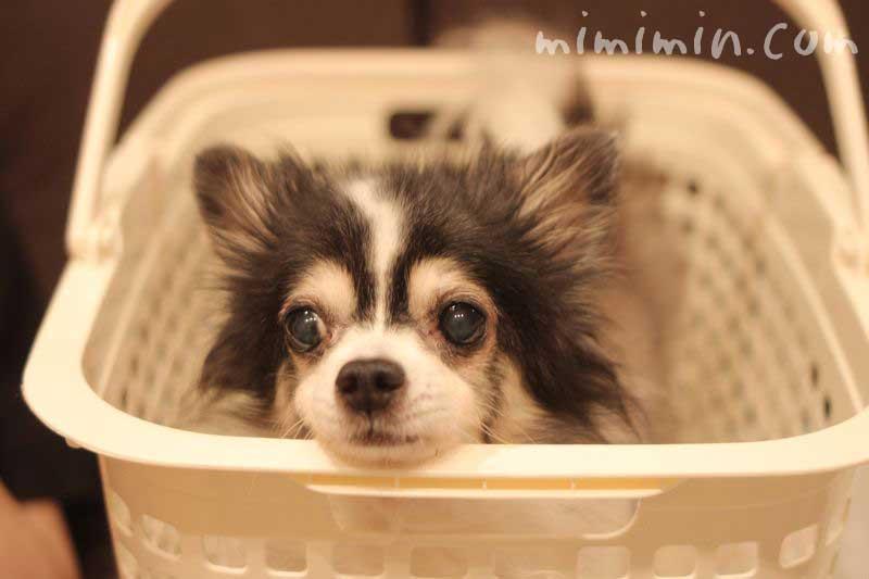 洗濯カゴに顎を置く白黒チワワの写真