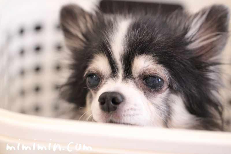 犬の片目が痛そうな画像