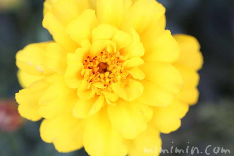 マリーゴールド・黄色・八重咲きの写真