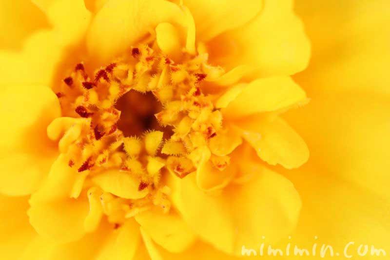 マリーゴールド・黄色・八重咲き
