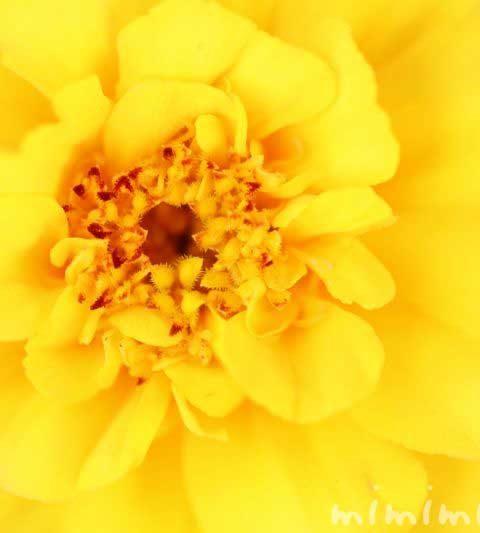 黄色のマリーゴールド|花の写真&花言葉