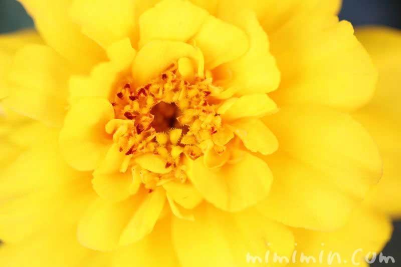 マリーゴールドの花の写真・黄色・八重咲き