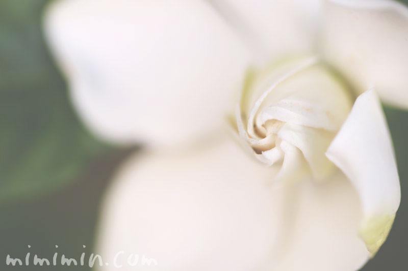 梔子の花の画像