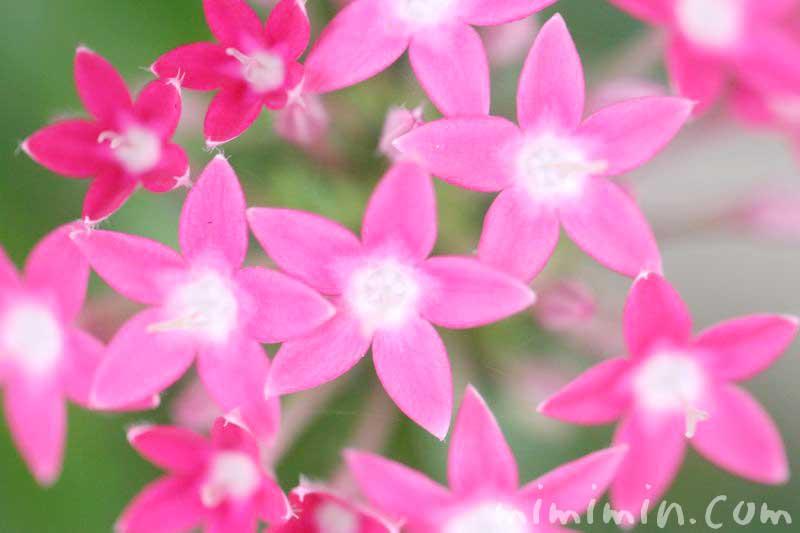 ペンタスの花・ピンク色