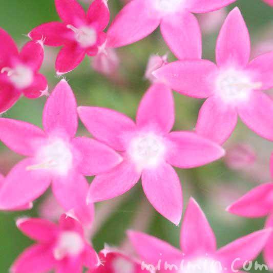 ペンタス・ピンク色