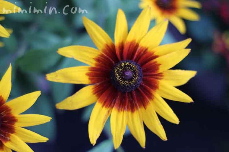 黄色いルドベキアの花の写真