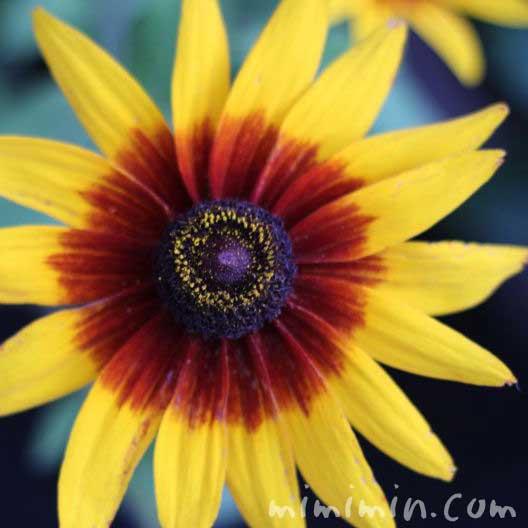 ルドベキアの花・黄の画像