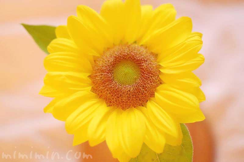 ヒマワリの花の写真・名前の由来の画像