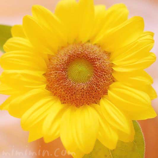 ヒマワリの花の写真・花言葉・名前の由来の画像