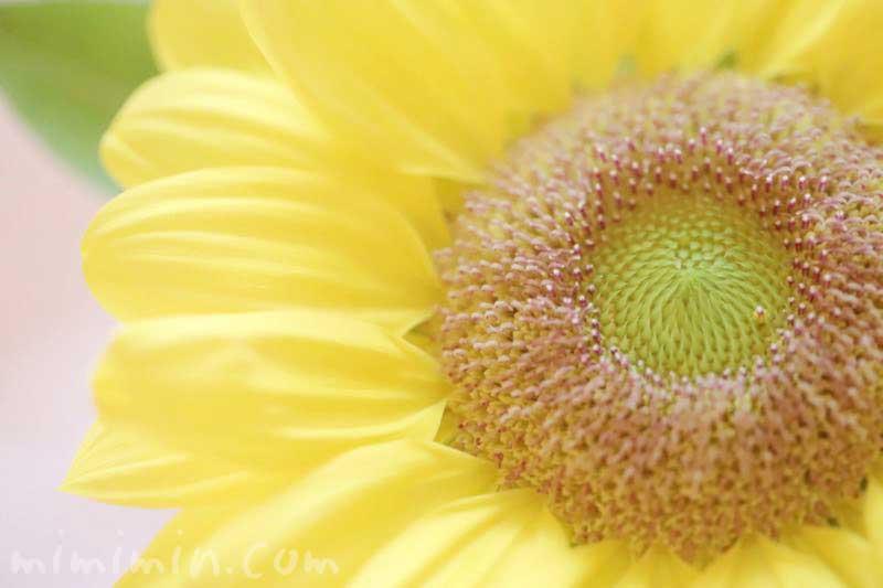 ヒマワリの花言葉・名前の由来の写真