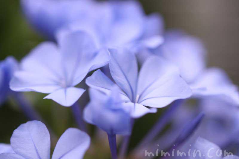 ルリマツリの花言葉と花の写真