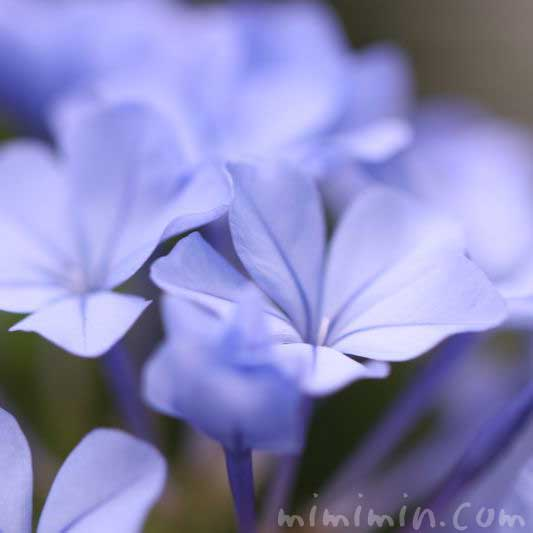 ルリマツリ(瑠璃茉莉)の花