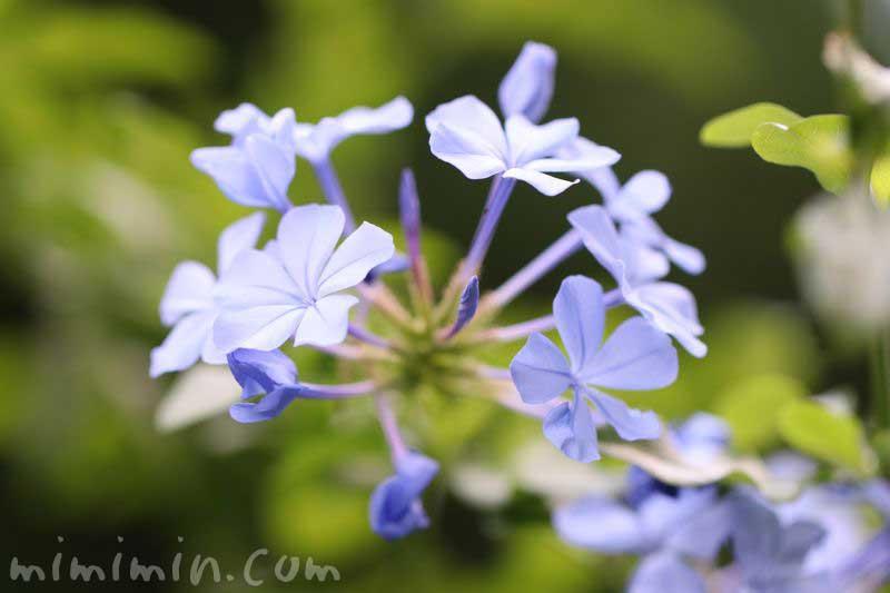 ルリマツリの花言葉と花の写真の画像