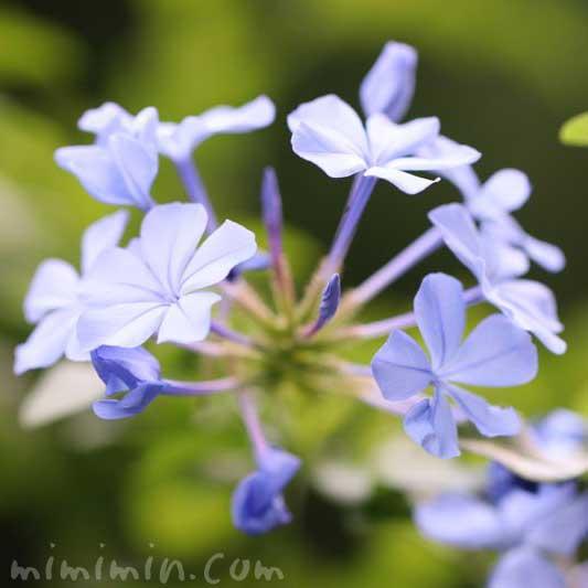 ルリマツリ(瑠璃茉莉)の花言葉