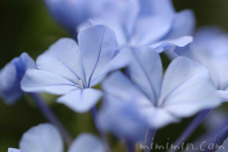 ルリマツリの花言葉