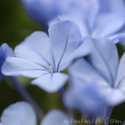 ルリマツリ(瑠璃茉莉)の花言葉の画像