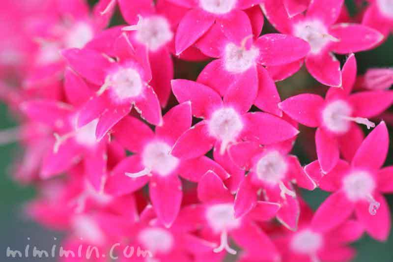 ペンタスの花・濃いピンクの写真