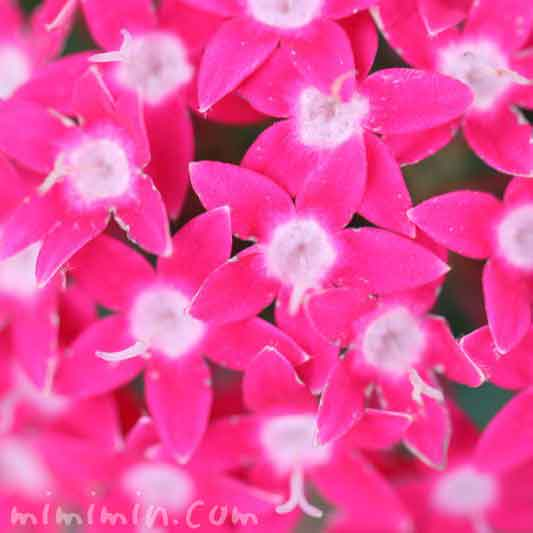 ペンタス・濃いピンクの画像