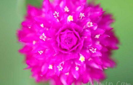 千日紅の花言葉の画像