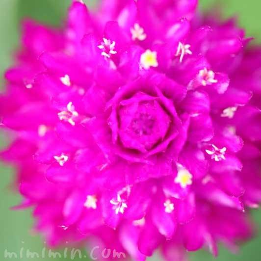 センニチコウの花言葉の写真