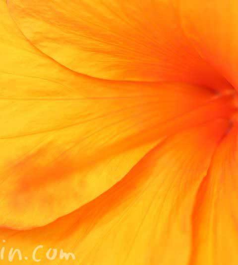 ハイビスカスの花言葉・名前の由来|オレンジ色のハイビスカスの花の写真