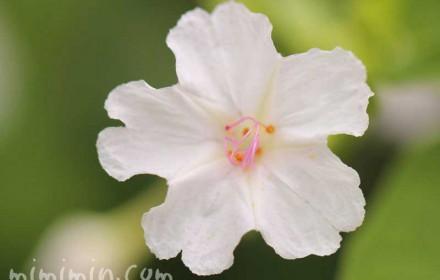 オシロイバナ 白の画像