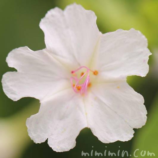 オシロイバナ 白色の花の写真