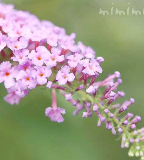 ブッドレアの花言葉・ピンク色のブッドレアの写真