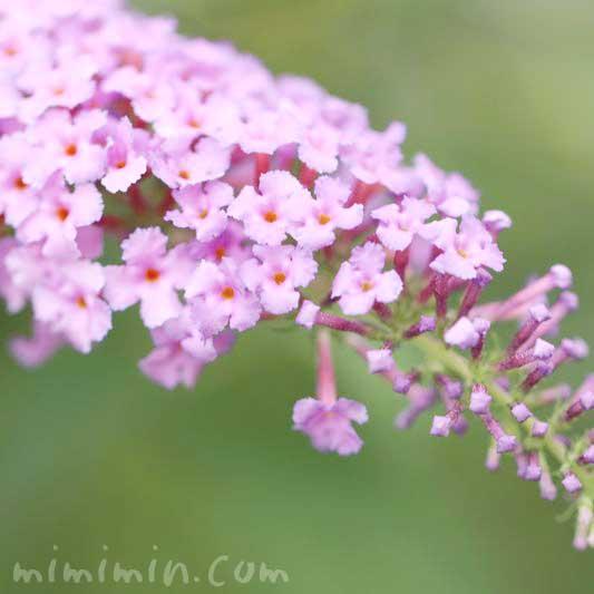 ブッドレアの花 ピンク