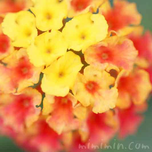ランタナ(黄色×オレンジ色)の写真