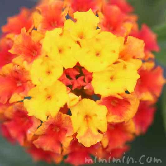 ランタナ(黄色×オレンジ色)の花の画像