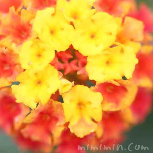 ランタナ(黄色×オレンジ色)