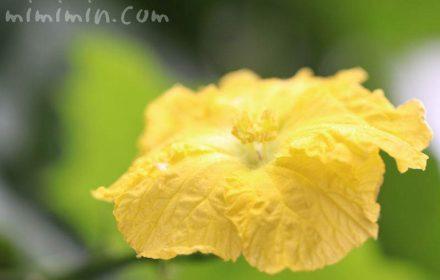 ヘチマの花の写真