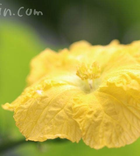 ヘチマ(糸瓜)の花の写真・花言葉・名前の由来