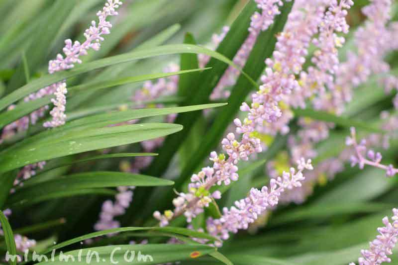 リリオペの花の写真