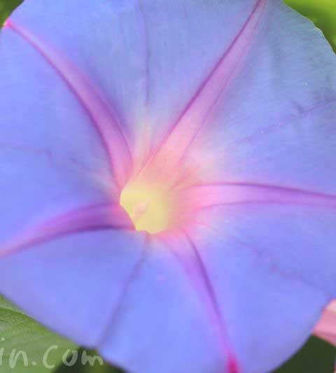 アサガオ(朝顔)の花言葉・名前の由来・伝説
