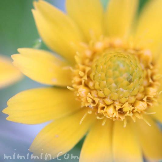 メランポジュームの花の写真